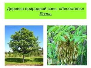 Деревья природной зоны «Лесостепь» Ясень