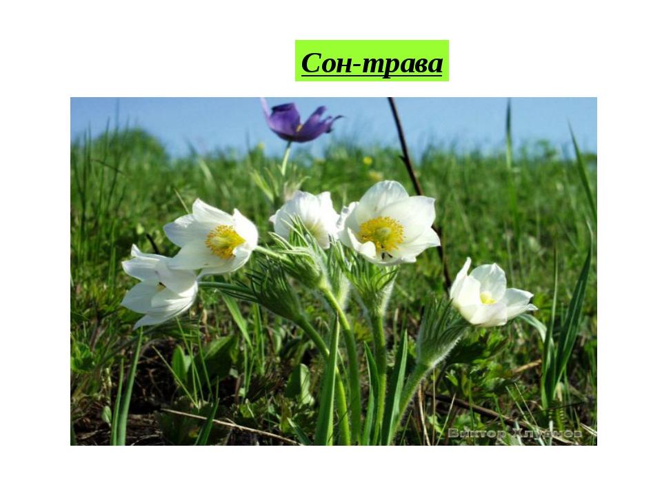 Сон-трава