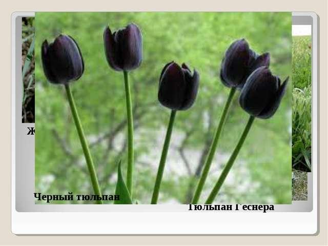 Живокость пунцовая Тюльпан Геснера Тюльпан Шренка Черный тюльпан