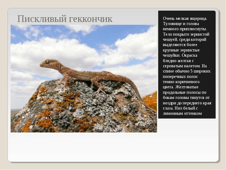 Пискливый геккончик Очень мелкая ящерица. Туловище и голова немного приплюсну...