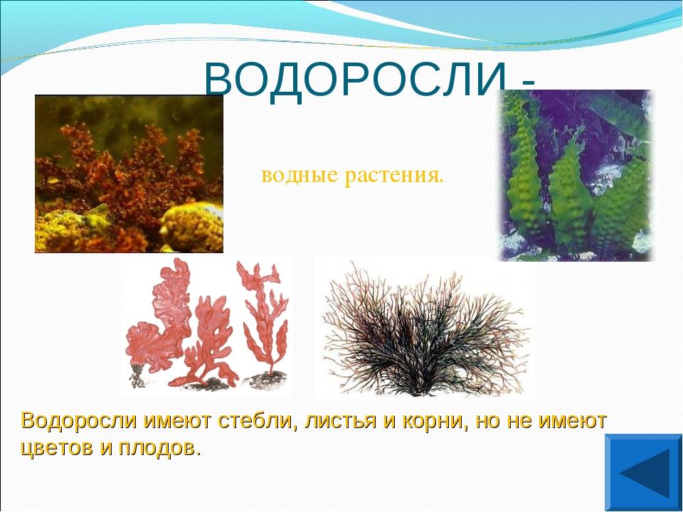 ВОДОРОСЛИ - водные растения. Водоросли имеют стебли, листья и корни, но не им...