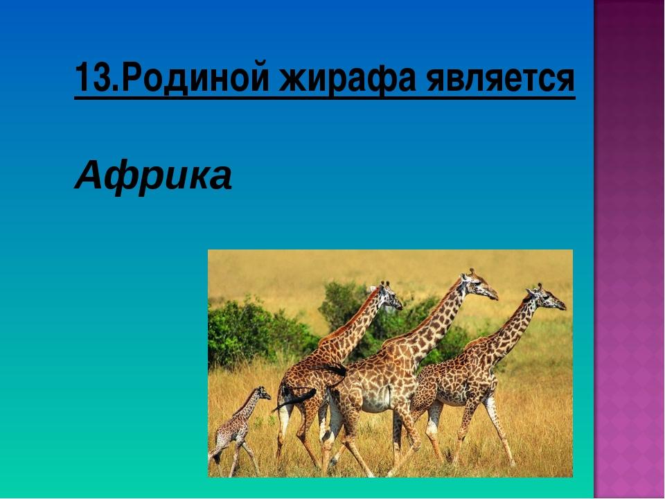 13.Родиной жирафа является Африка