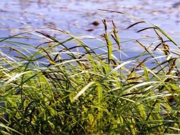 CarexAcuta_Starr.jpg