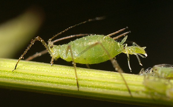 Aphid-giving-birth.jpg