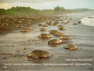 Самые масштабные миграции: морские кожистые черепахи пересекают Тихий океан