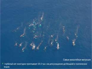 Самые масштабные миграции: горбатый кит ежегодно проплывает 25,5 тыс. км для