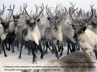 Самые масштабные миграции: Северные олени мигрируют на наибольшее расстояние