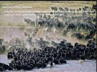 Самые масштабные миграции: Антилопы гну миллионными стадами кочуют в поисках