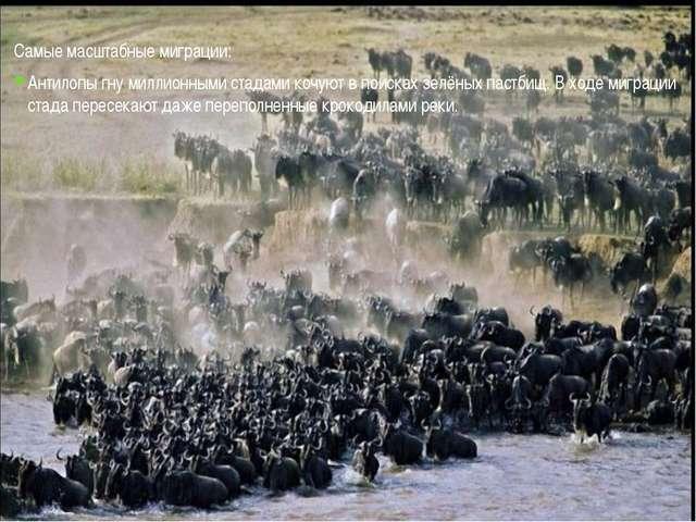 Самые масштабные миграции: Антилопы гну миллионными стадами кочуют в поисках...