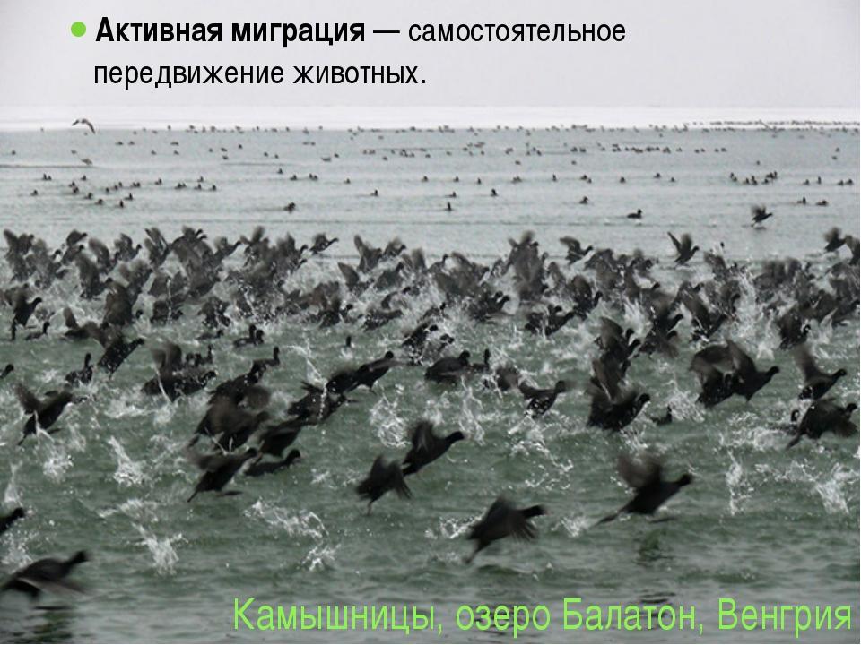 Камышницы, озеро Балатон, Венгрия Активная миграция — самостоятельное передви...