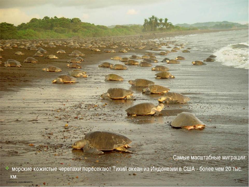 Самые масштабные миграции: морские кожистые черепахи пересекают Тихий океан...