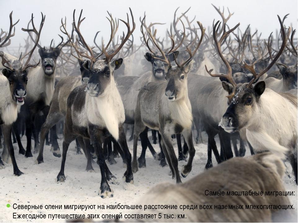 Самые масштабные миграции: Северные олени мигрируют на наибольшее расстояние...