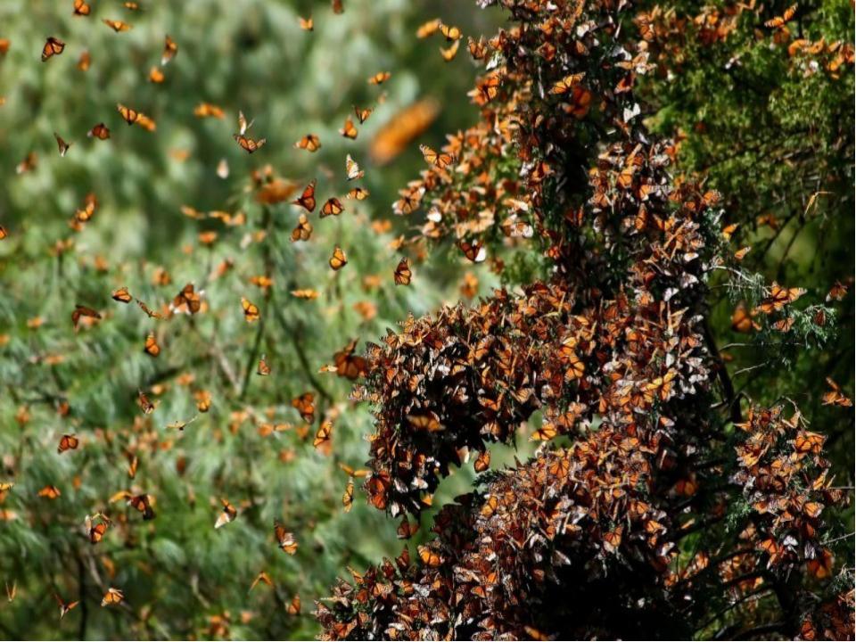 Самые масштабные миграции: Миграциибабочек Монарх– очень красивое зрелище....