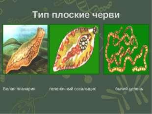 Тип плоские черви Белая планария печеночный сосальщик бычий цепень