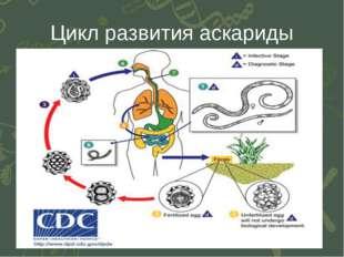 Цикл развития аскариды