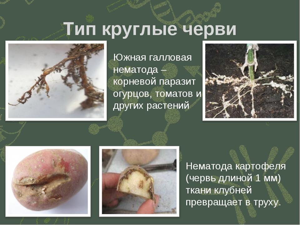 Тип круглые черви Южная галловая нематода – корневой паразит огурцов, томатов...