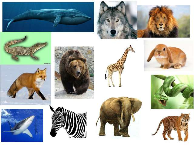lion tiger elephant crocodile bear rabbit wolf fox giraffe shark whale zebra...