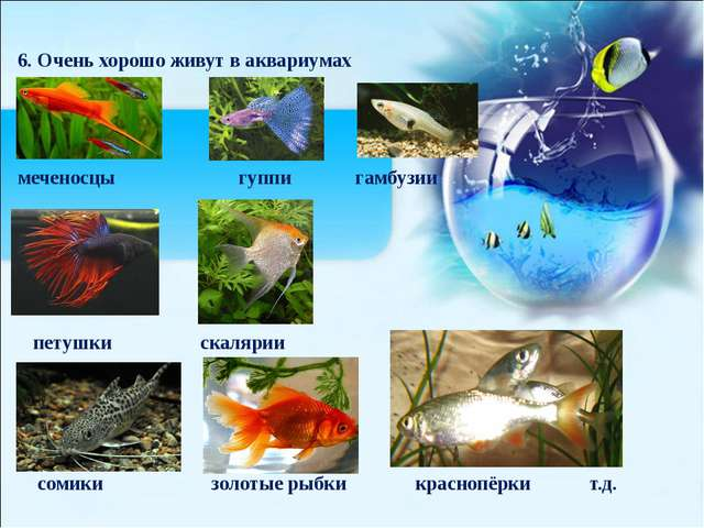 6. Очень хорошо живут в аквариумах меченосцы гуппи гамбузии петушки скалярии...