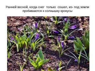 Ранней весной, когда снег только сошел, из- под земли пробиваются к солнышку