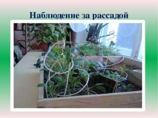 Наблюдение за рассадой