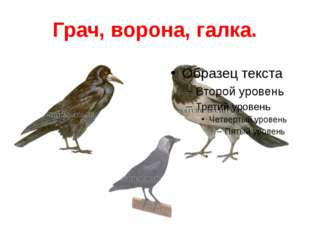 Грач, ворона, галка.