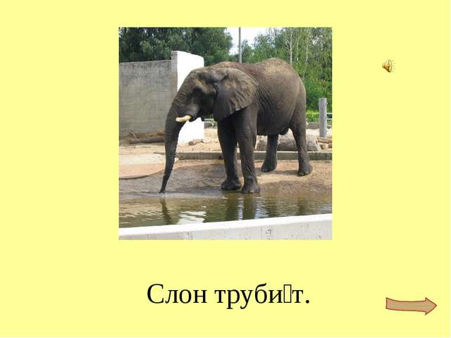 Слон труби́т.