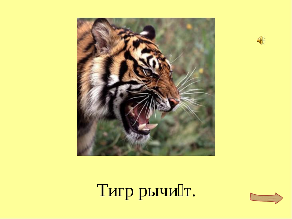 Тигр рычи́т.