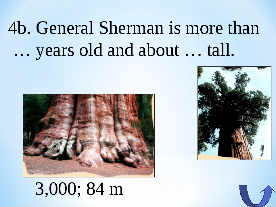 4b. General Sherman is more than … years old and about … tall. 3,000; 84 m