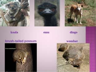 koala dingo emu brush-tailed possum wombat