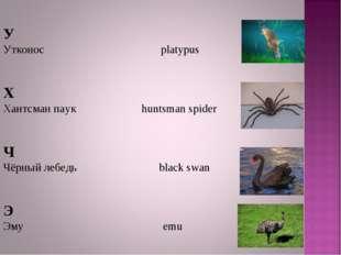 У Утконос platypus Х Хантсман паук huntsman spider Ч Чёрный лебедь black swa