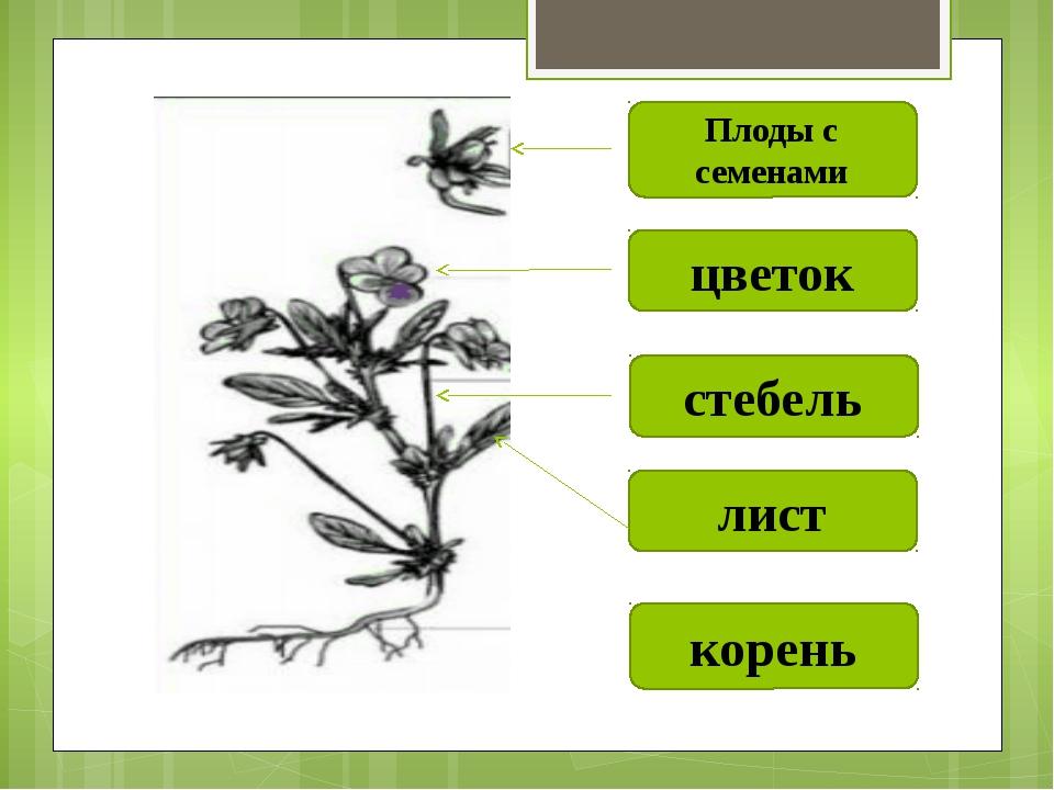 корень лист стебель цветок Плоды с семенами