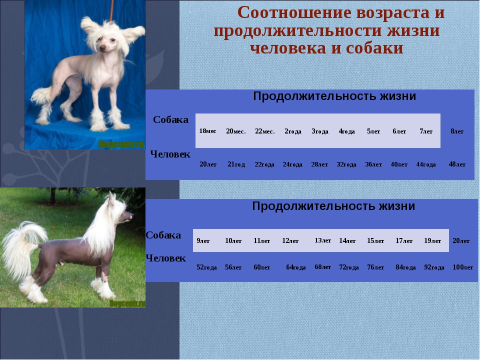 Соотношение возраста и продолжительности жизни человека и собаки Продолжит...