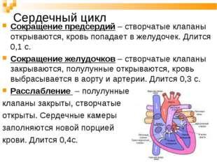 Сердечный цикл Сокращение предсердий – створчатые клапаны открываются, кровь