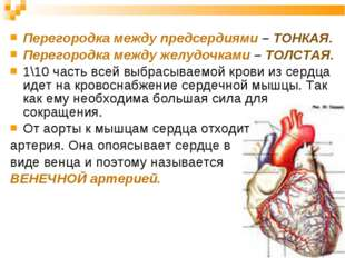 Перегородка между предсердиями – ТОНКАЯ. Перегородка между желудочками – ТОЛС