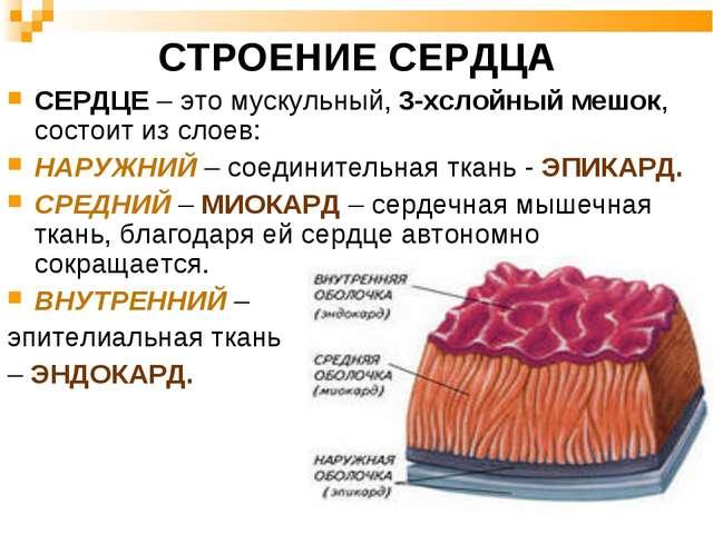 СТРОЕНИЕ СЕРДЦА СЕРДЦЕ – это мускульный, 3-хслойный мешок, состоит из слоев:...