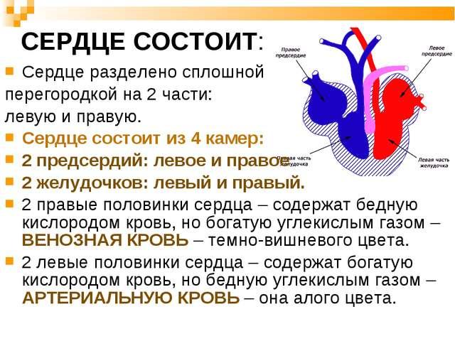 Сердце разделено сплошной перегородкой на 2 части: левую и правую. Сердце сос...