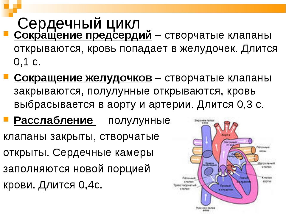 Сердечный цикл Сокращение предсердий – створчатые клапаны открываются, кровь...