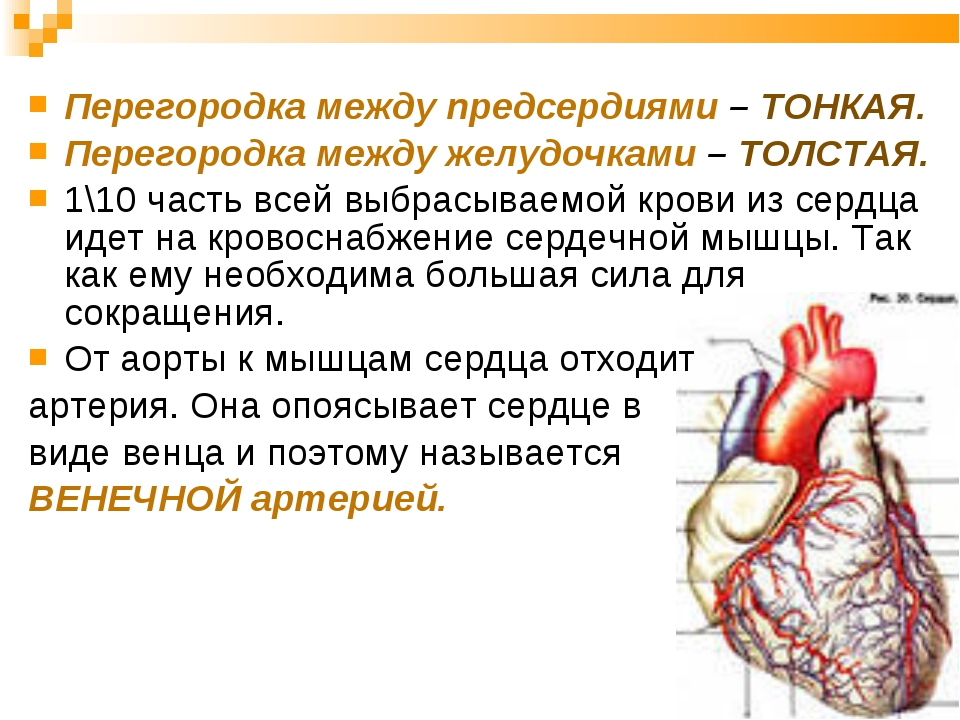 Перегородка между предсердиями – ТОНКАЯ. Перегородка между желудочками – ТОЛС...