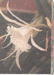 Zerhyranthes atamasco
