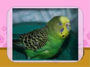 У меня дома живёт волнистый попугай. Её зовут Рита. Ей уже три года. Ритка оч