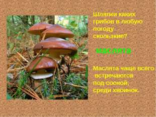 Шляпки каких грибов в любую погоду скользкие? маслята Маслята чаще всего встр