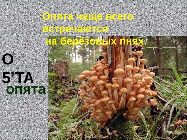 О 5'ТА опята Опята чаще всего встречаются на берёзовых пнях.