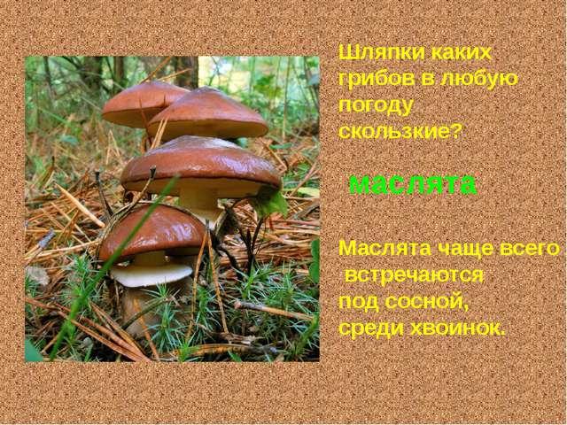 Шляпки каких грибов в любую погоду скользкие? маслята Маслята чаще всего встр...