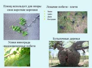 Плющ использует для опоры свои короткие корешки Бутылочные деревья Усики вино