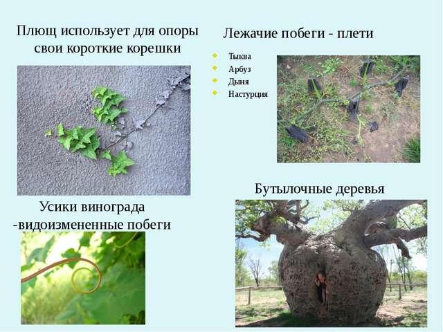 Плющ использует для опоры свои короткие корешки Бутылочные деревья Усики вино...