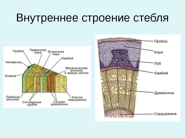 Урок по биологии по теме внешнее строение стебля