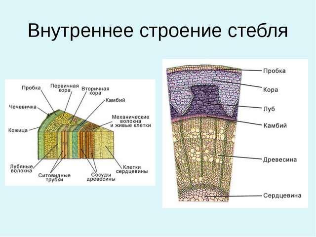 Внутренняя часть стебля