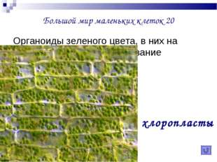 Большой мир маленьких клеток 20 Органоиды зеленого цвета, в них на свету прои