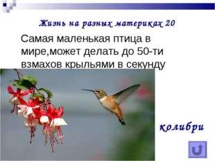 Жизнь на разных материках 20 Самая маленькая птица в мире,может делать до 50-
