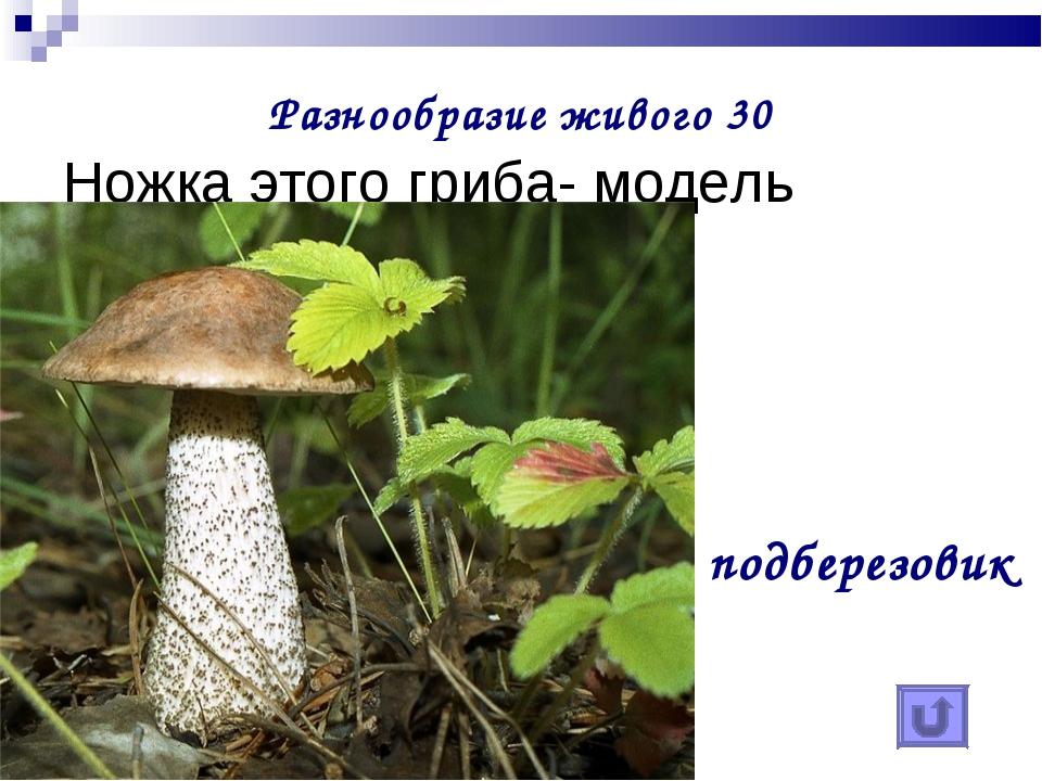 Разнообразие живого 30 Ножка этого гриба- модель ствола березы подберезовик